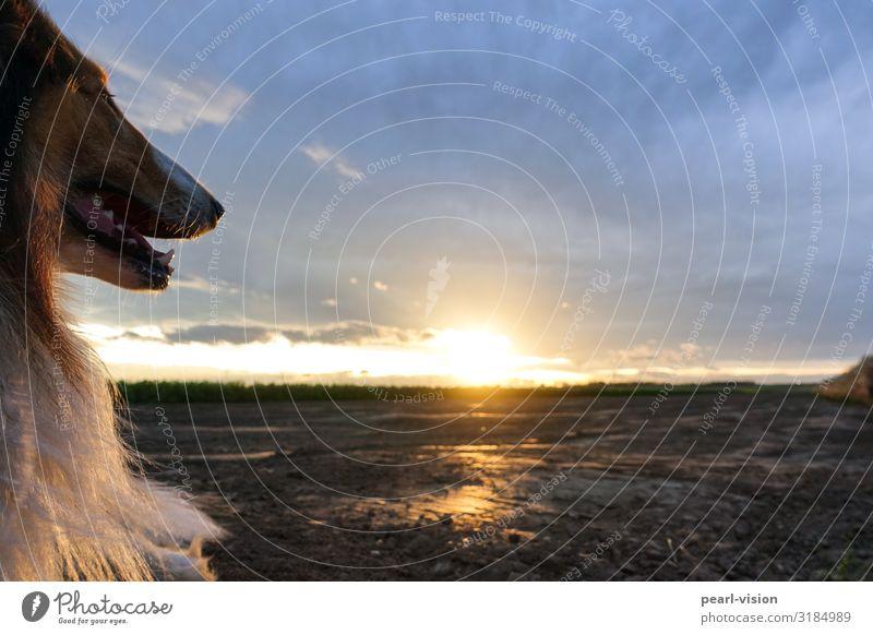 merlin at sunset Sonnenaufgang Sonnenuntergang Tier Haustier Hund Collie 1 Blick Farbfoto Außenaufnahme Textfreiraum rechts Textfreiraum oben Dämmerung