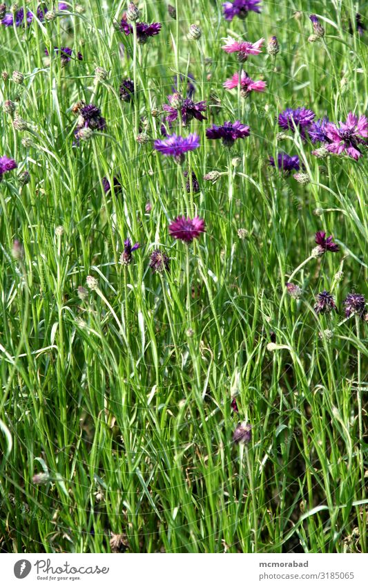 Pink und Voilette in Grün Pflanze Blume Gras Blatt Blüte hell grün rosa Trennung violett Pflanzenwelt Kämme Düne vereinzelt Hintergrund Smaragd Jade