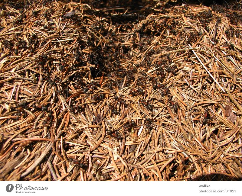 rushhour Eingang chaotisch durcheinander Ameise Tannennadel Ameisenhügel