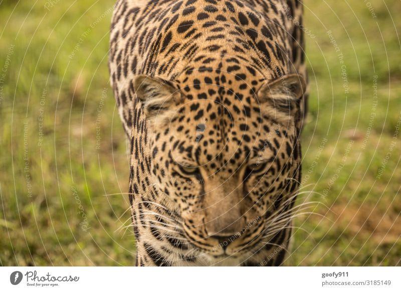 Böser Blick Ausflug Abenteuer Ferne Freiheit Safari Expedition Tier Wildtier Katze Tiergesicht Fell Pfote Leopard 1 beobachten entdecken Aggression