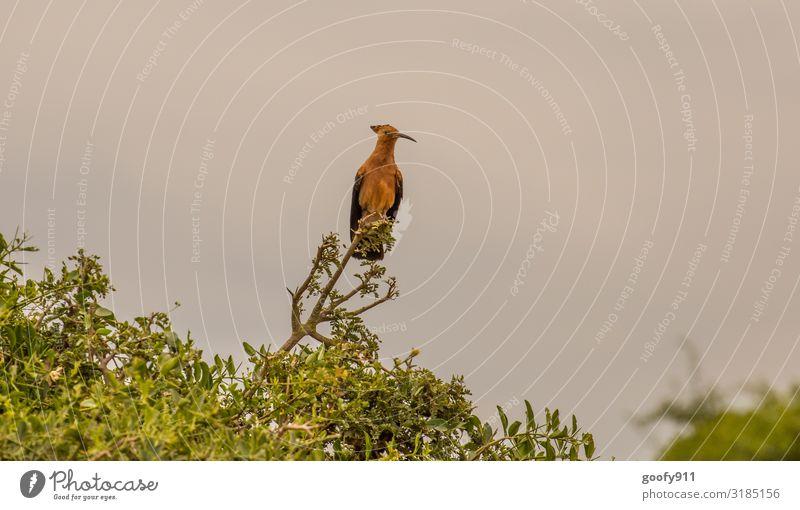 Wiedehopf in Südafrika Ferien & Urlaub & Reisen Ausflug Abenteuer Ferne Freiheit Safari Expedition Natur Himmel Baum Tier Wildtier Vogel Tiergesicht Flügel 1
