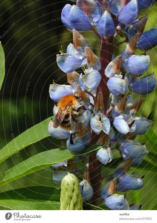 die hosen noch nicht voll ... Pflanze Blüte Sammlung Hummel Staubfäden Nektar