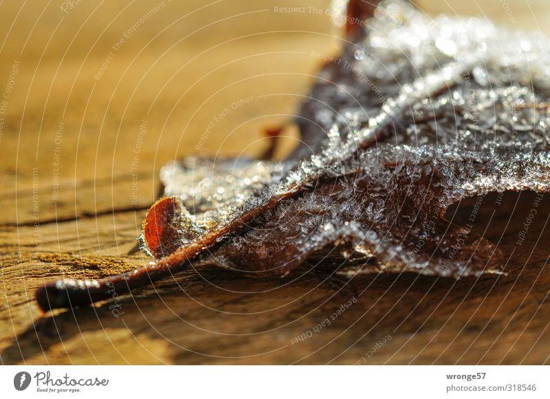frosted Pflanze Blatt Winter kalt braun Eis Frost Eiskristall Raureif Holzplatte Eichenblatt