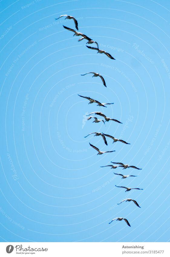 im Flug Umwelt Natur Pflanze Luft Himmel Wolkenloser Himmel Sommer Tier Wildtier Vogel Flügel Pelikan Schwarm fliegen blau Menschengruppe fliegend viele schwarz