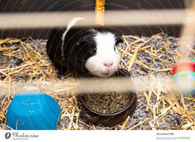 Meerschweinchen schwarz-weiß im Käfig, kleines süßes Haustier in Nahaufnahme trinken Gesicht Abenteuer Familie & Verwandtschaft Ausstellung Natur Tier