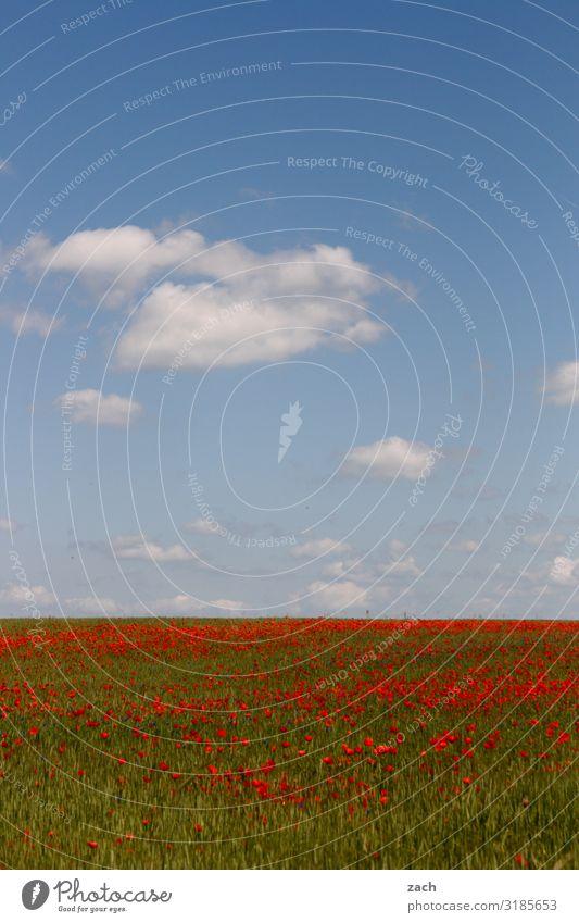 22. Dezember - Frühlingsanfang II Landwirtschaft Landschaft Himmel Wolken Schönes Wetter Pflanze Blume Blüte Nutzpflanze Mohn Mohnblüte Wiese Feld Brandenburg