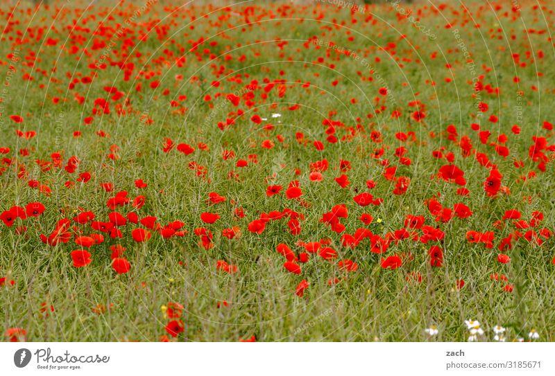 Happy Mohnday Landwirtschaft Landschaft Pflanze Blume Blüte Nutzpflanze Mohnblüte Wiese Feld Brandenburg Wachstum Farbfoto Außenaufnahme Menschenleer
