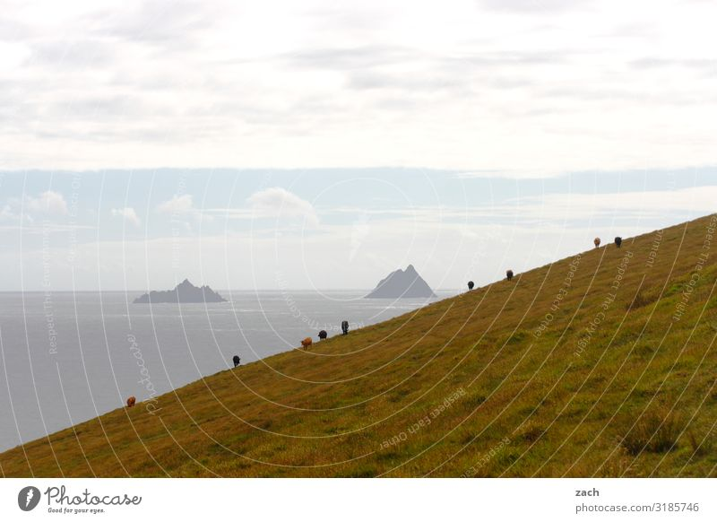 Hanglage Landschaft Wasser Himmel Wiese Feld Hügel Küste Meer Atlantik Insel Skellig Island Republik Irland Kuh Rind Rinderhaltung Herde Fressen grau grün steil