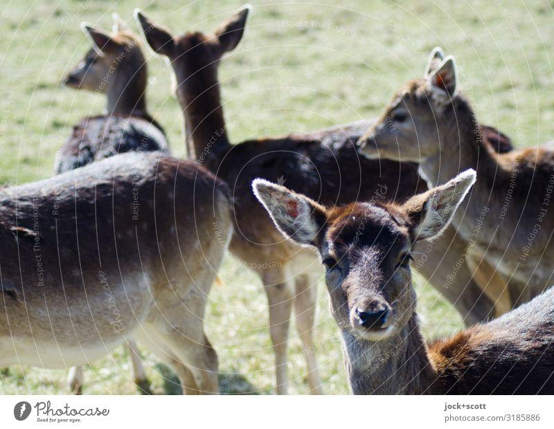 Rehblick Wiese Wildtier Tiergesicht Tiergruppe authentisch natürlich Neugier Wärme braun Zusammensein Wachsamkeit Idylle Verhalten Lebensraum Tierschutz Bambi