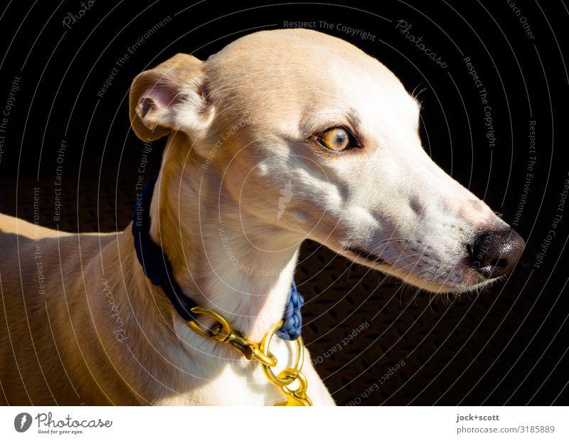 windiger Hund elegant Haustier Windhund 1 Tier Halsband Hundehalsband niedlich Wärme weich braun gold Gefühle Vertrauen Wachsamkeit Gelassenheit ästhetisch