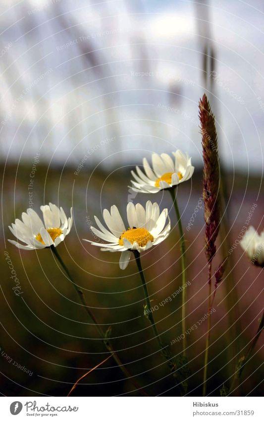 Warum in die Ferne schweifen...? Wiese Wolken Licht weiß grün Sommer Ferien & Urlaub & Reisen Gras Blüte Blume Heimat Romantik Himmel blau Elbe Margaritten