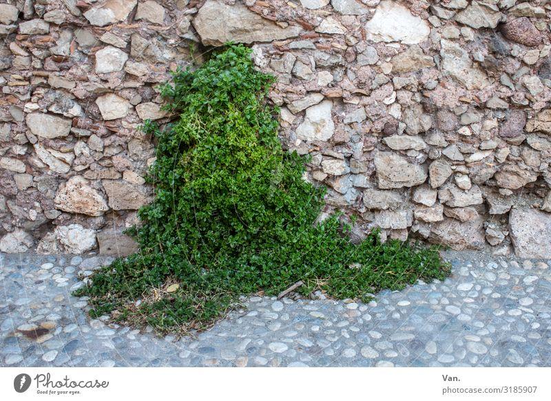 grüne Quelle Natur Pflanze Efeu Wildpflanze Dorf Mauer Wand Wege & Pfade Pflasterweg Wachstum braun Stein Farbfoto mehrfarbig Außenaufnahme Menschenleer Tag