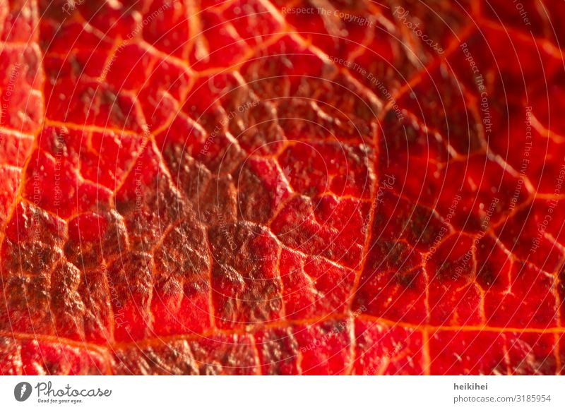 Nahaufnahme eines herbstlich eingefärbten Blattes Umwelt Natur Herbst Pflanze ästhetisch außergewöhnlich natürlich rot Kunst Blattadern Detailaufnahme