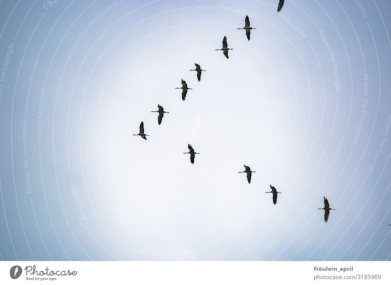 Zugvögel Außenaufnahme Farbfoto Fauna Herbst Kranich Querformat Storch Tag Tageslicht Vogel himmel tier Zugvogel Tier Natur Wildtier fliegen Himmel Menschenleer