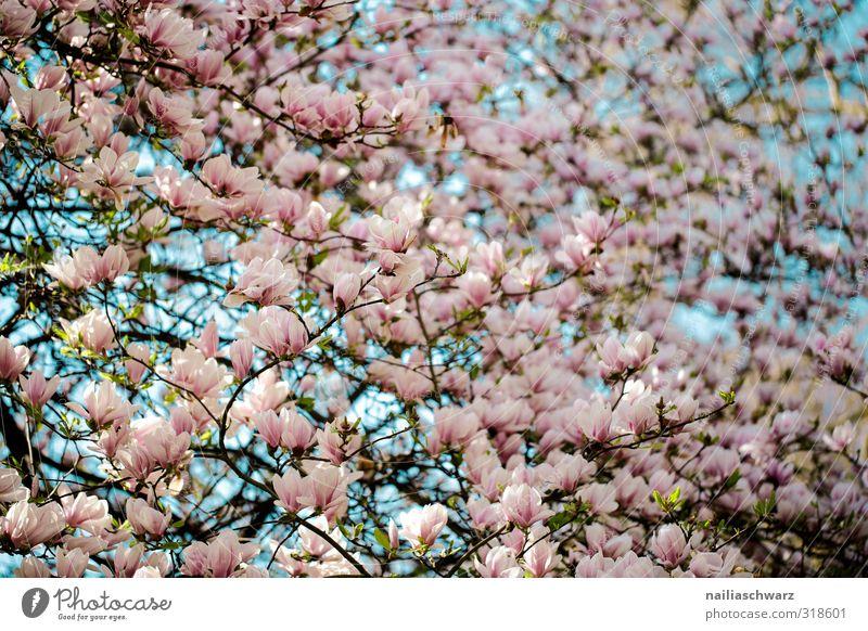 Magnolia Natur blau schön Sommer Pflanze Baum Blume Blatt Umwelt Frühling Blüte Garten natürlich rosa Park Wachstum