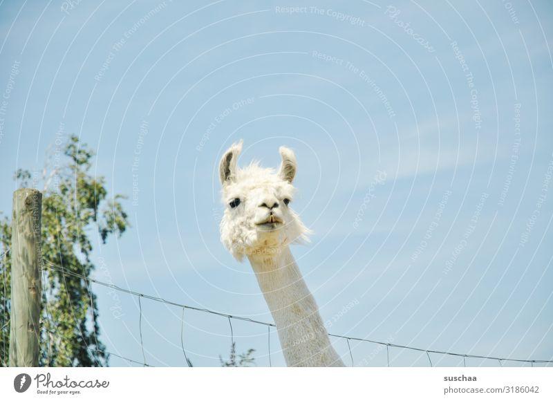 ein lama (2) Lama Tier Haustier Nutztier Kamel spucken Blick Paarhufer Herde tiergestützte Therapie Bauernhof Hof Weide Gehege Zaun Zaunpfahl Fell Natur Neugier
