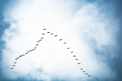 long way home | UT HH19 Natur Tier Himmel Frühling Herbst Wildtier Vogel Schwarm Bewegung fliegen kämpfen Kommunizieren Ferien & Urlaub & Reisen wandern Ferne