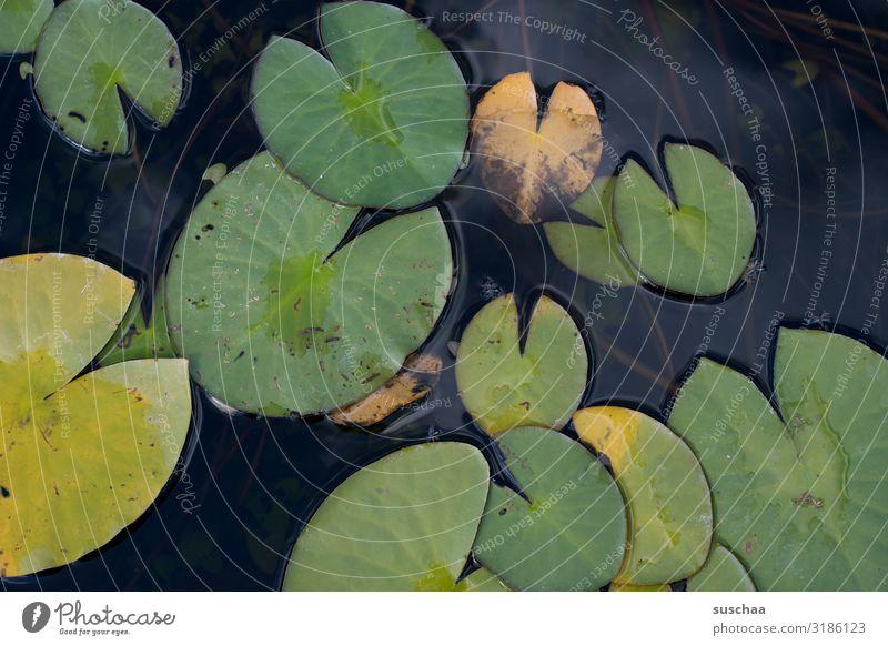 schwimmblätter Schwimmblätter Teichrose Blatt Botanischer Garten Karlsruhe Gewässer Wasser See Seerosen Pflanze Wasserpflanze Natur Botanik Umwelt