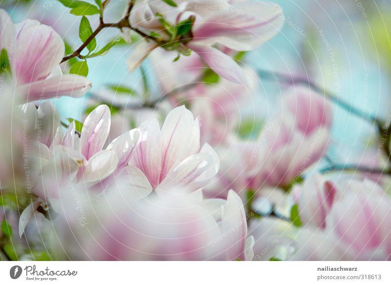 Magnolia Natur blau schön Pflanze Baum Blume Freude Blatt Umwelt Blüte Garten natürlich rosa Park Wachstum frisch