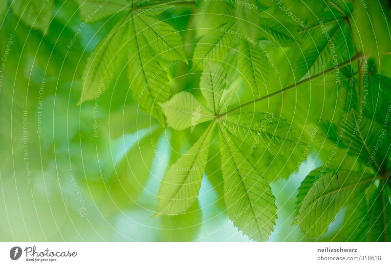 Kastanien Umwelt Natur Pflanze Frühling Sommer Baum Blatt Grünpflanze Kastanienblatt Garten Park Wald Wachstum einfach Fröhlichkeit frisch natürlich positiv