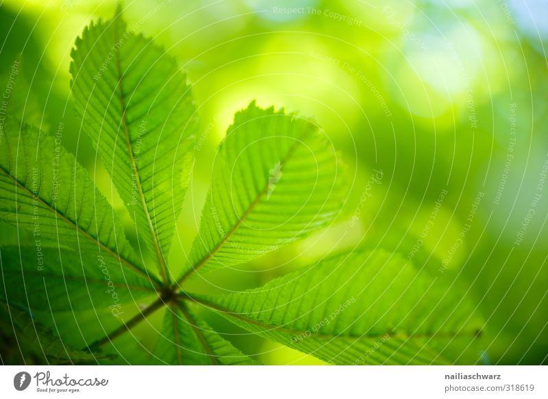 Kastanienblatt Natur Pflanze Frühling Sommer Schönes Wetter Baum Blatt Kastanienbaum Garten Park Wald Wachstum einfach Fröhlichkeit frisch Gesundheit natürlich