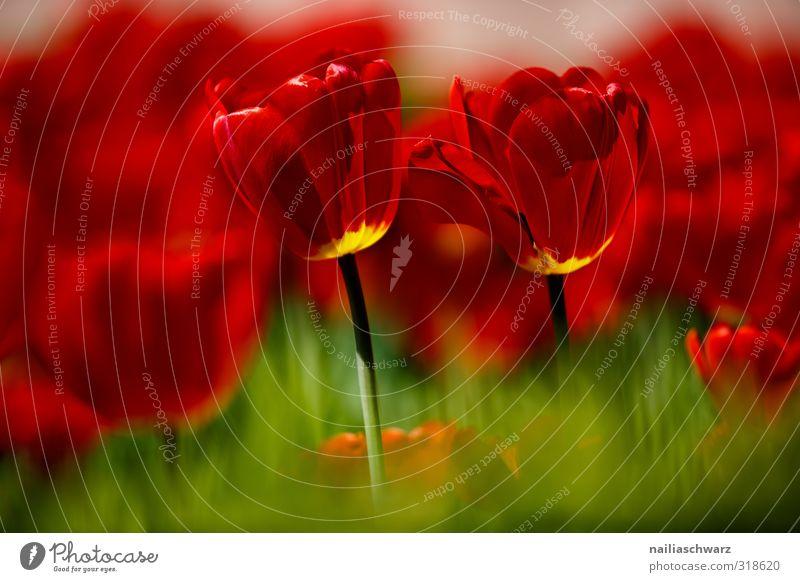 Tulpenfeld Umwelt Natur Landschaft Pflanze Frühling Sommer Schönes Wetter Blume Blüte Garten Park Blühend Duft glänzend leuchten Wachstum Fröhlichkeit positiv