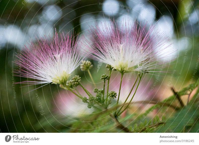 Seidenbaum-Blüte Natur Sommer Pflanze schön grün Landschaft Baum Blatt Umwelt rosa wild stehen Fluss exotisch fein