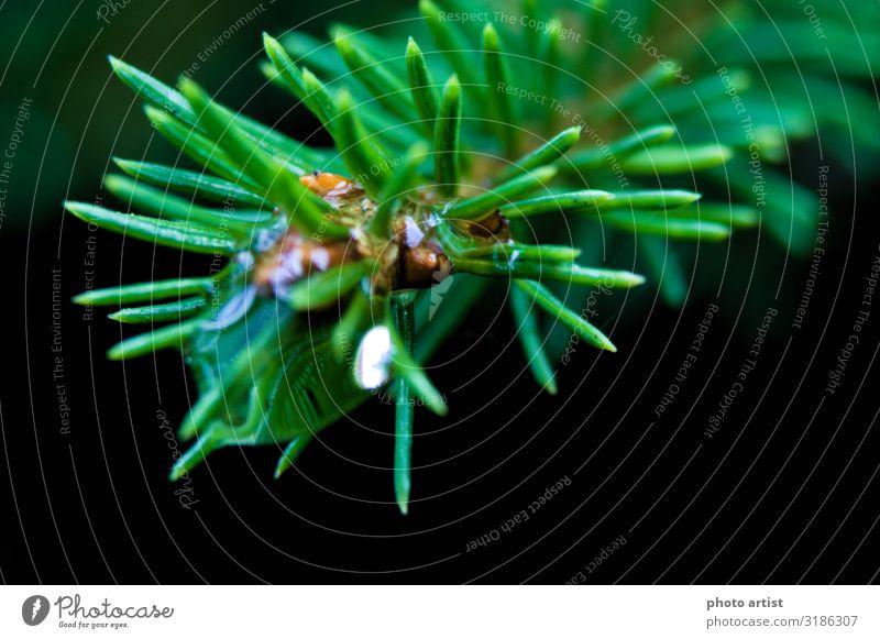 Regentropfen auf Fichtenzweig Makro Tier Wasser Wassertropfen schlechtes Wetter Grünpflanze Wildpflanze Wald Menschenleer Kraft Stimmung Umwelt Makroaufnahme