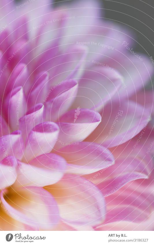 Blütenzauber Natur Pflanze Blume Dalie Blühend Duft frisch Zusammensein schön einzigartig violett rosa weiß Außenaufnahme Nahaufnahme Detailaufnahme