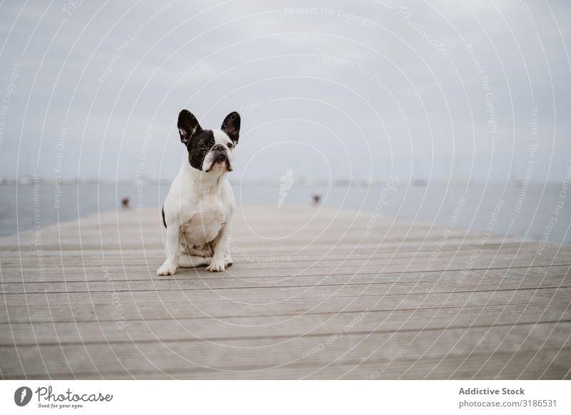 Süßer Hund auf dem Pier in der Nähe des Meeres Anlegestelle sitzen Strand französische Bulldogge Wegsehen Wasser Haustier Wellen Freundschaft grau matt Stimmung