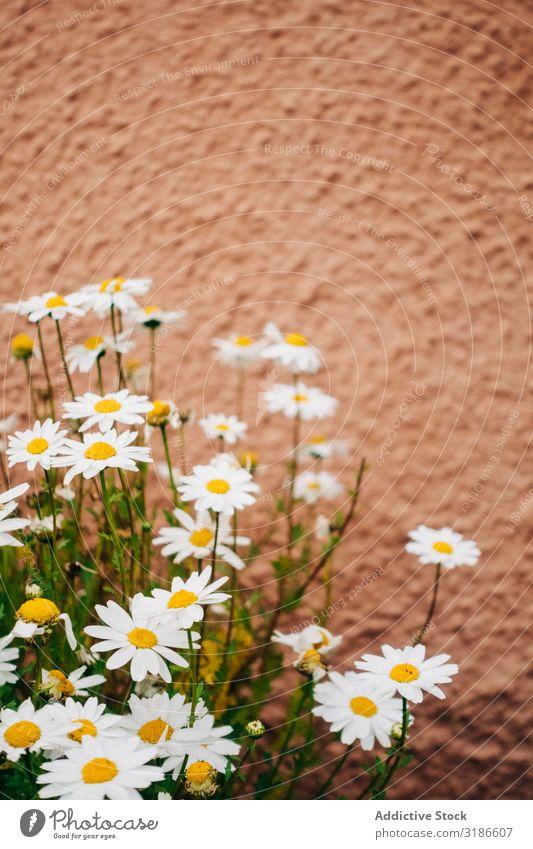 Gänseblümchenblüten Blume Natur weiß Frühling Pflanze geblümt Sommer Hintergrundbild Design Blüte Dekoration & Verzierung Grafik u. Illustration schön natürlich