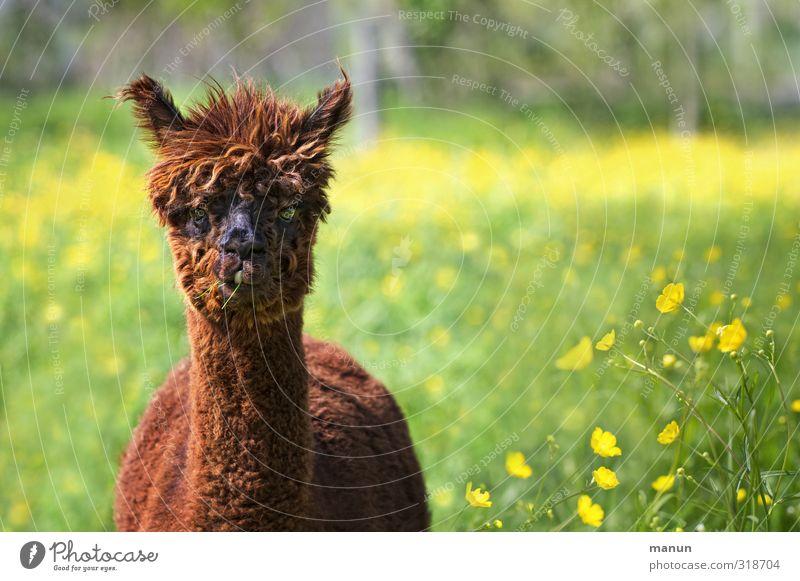 Wuschelkopf Natur Wiese Tier Nutztier Alpaka 1 wollig Coolness natürlich Tierzucht Farbfoto Außenaufnahme Menschenleer Tag Tierporträt Blick Blick in die Kamera