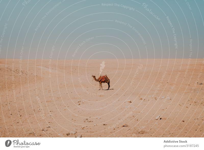 Kamel mit ornamentalen Sätteln in der Wüste bei Kairo, Ägypten Karavane gesattelt Ornament lustig Ferien & Urlaub & Reisen Natur Sand Ausflug Sonnenstrahlen Tag