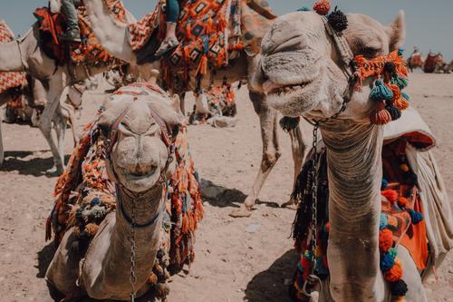 Lustige Kamele in der Wüste Karavane Kairo Ägypten Ornament lustig Ferien & Urlaub & Reisen
