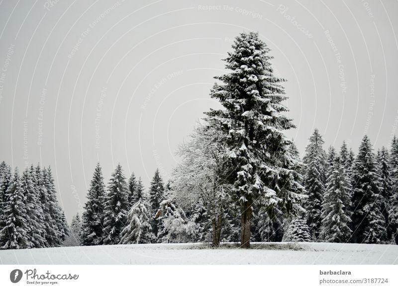 Oh Tannenbaum Natur Weihnachten & Advent weiß Landschaft Baum ruhig Wald Winter schwarz Umwelt kalt Schnee grau Stimmung Eis ästhetisch