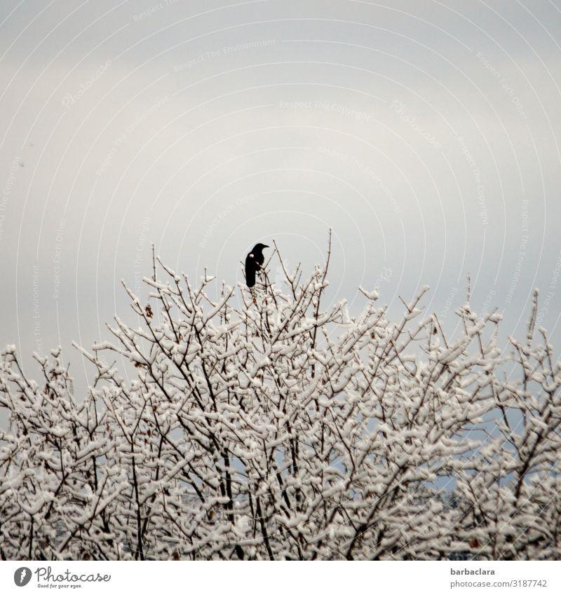 schwarz auf weiß Natur Pflanze Tier Wolkenloser Himmel Sonnenlicht Herbst Winter Eis Frost Schnee Baum Zweige u. Äste Vogel Rabenvögel 1 frieren sitzen kalt