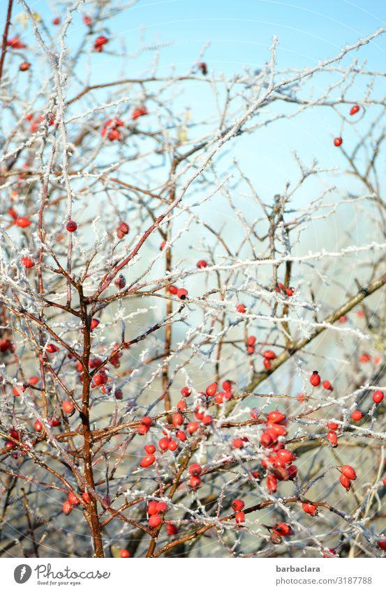 gefrorene Hagebutten Beeren Natur Pflanze Himmel Winter Eis Frost Sträucher Nutzpflanze leuchten Gesundheit hell kalt wild rot Farbe Klima Umwelt Farbfoto