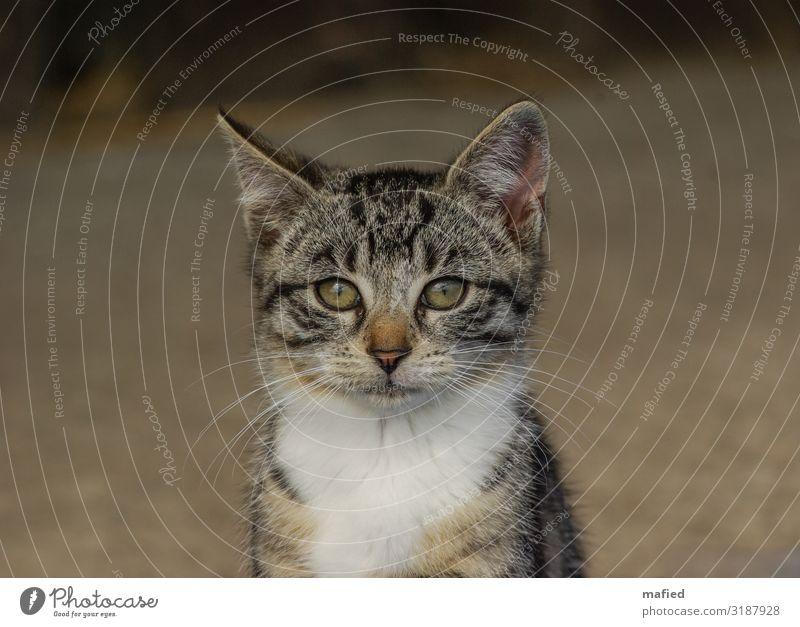 Nachdenklich Katze weiß Tier Tierjunges klein braun grau niedlich