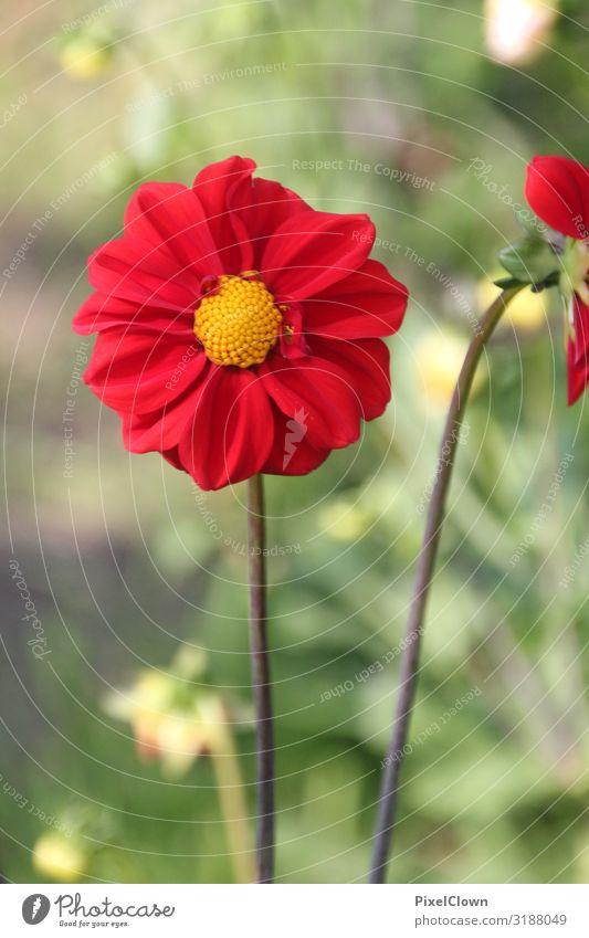 Blume Blüte Pflanze Sommer Makroaufnahme Natur Detailaufnahme Blühend rot Blütenblatt flora Garten