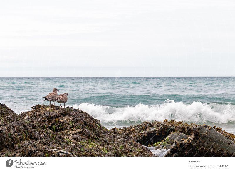 Zwei Möwen hocken auf einem Fels an der Küste Wellen Meer England Europa Tier Vogel 2 warten blau braun weiß Tag Totale Natur Landschaft Strand Himmel