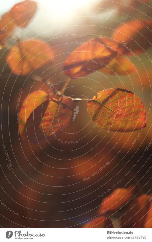 rote Herbstblätter herbstlich Lichtschein Sonnenlicht laub Blätter Natur Nahaufnahme Makroaufnahme Hintergrund Unschärfe Stimmung Außenaufnahme Wald Pflanze