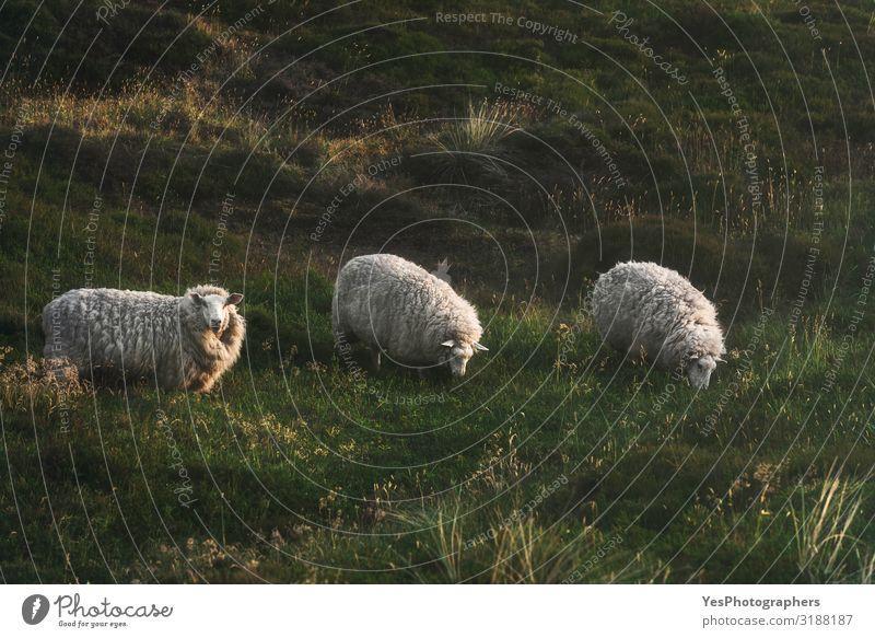 Drei Schafe grasen auf Mooshügeln auf der Insel Sylt in der Nordsee. Ferien & Urlaub & Reisen Tourismus Sommer Umwelt Natur Landschaft Tier Gras Hügel Nutztier