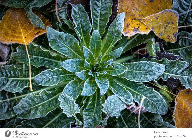 Ein Hauch Raureif Natur Pflanze Winter Wetter Eis Frost Blume Blatt Wildpflanze Laub Nachtkerze Pappeln Pappelblatt Garten kalt braun gelb grün weiß ruhig Klima
