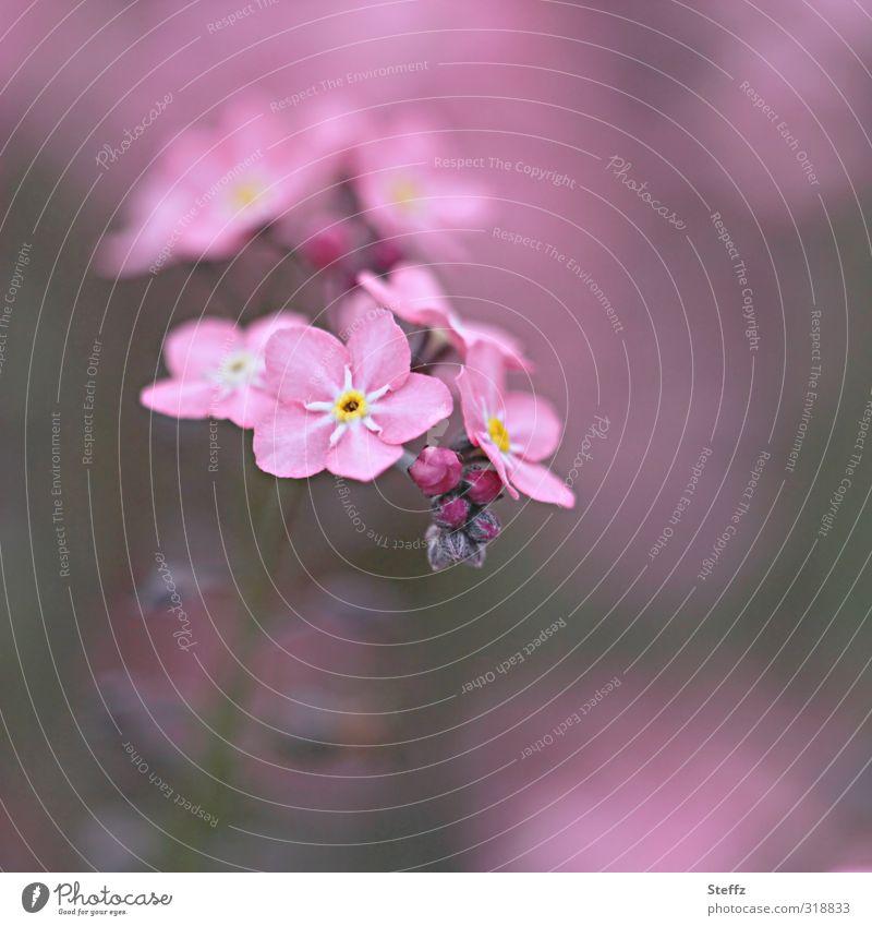 alles rosig mit rosa Vergißmeinnicht Frühlingsblume Waldblume rosa Blumen zartrosa blühende Frühlingsblumen Blüte Blühend Verliebtheit Romantik blühende Blumen
