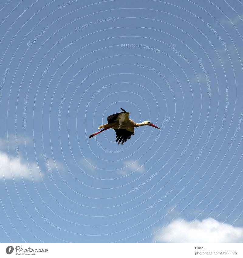 looking for adventure Natur Himmel Wolken Schönes Wetter Tier Wildtier Vogel Storch 1 beobachten fliegen Blick selbstbewußt Tatkraft Leben Ausdauer Neugier