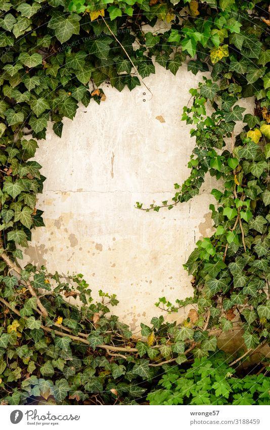 Efeu rankt an einer Mauer um eine freie Stelle empor Grünpflanze rankeln Pflanze Farbfoto grün Außenaufnahme Tag Menschenleer Blatt Wand Kletterpflanzen