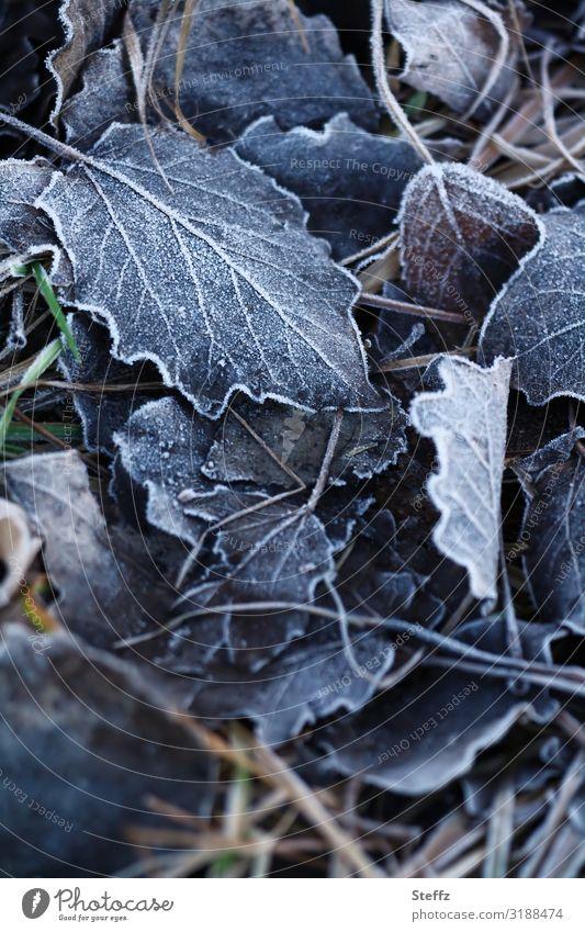Ein Hauch vom Frost Umwelt Natur Herbst Winter Klima Wetter Eis Pflanze Blatt Herbstlaub Blattadern Wald Waldboden frieren kalt nah natürlich schön blau grau