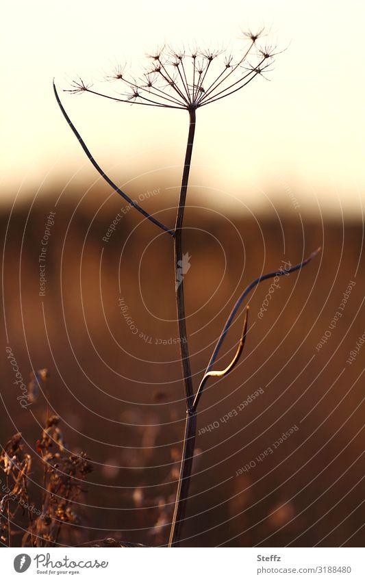 Solo auf der Herbstwiese Natur Pflanze schön Umwelt natürlich Wiese Gras Textfreiraum braun einzeln Abenddämmerung herbstlich November beige Oktober