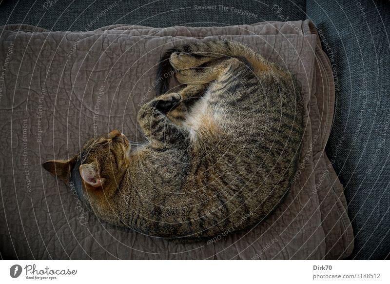 Cat resting ... Wohlgefühl Häusliches Leben Wohnung Tier Haustier Katze Tigerkatze Tigerfellmuster 1 Decke Sofa liegen schlafen träumen kuschlig Vertrauen