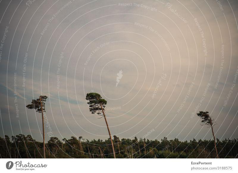 Windgeformt Umwelt Natur Landschaft Himmel Wolken Klima Baum Wald Ostsee blau grün weiß 3 Kiefer Strukturen & Formen Farbfoto Gedeckte Farben Menschenleer